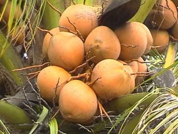 Ben Tre coconut plants hardships due to lack of raw materials
