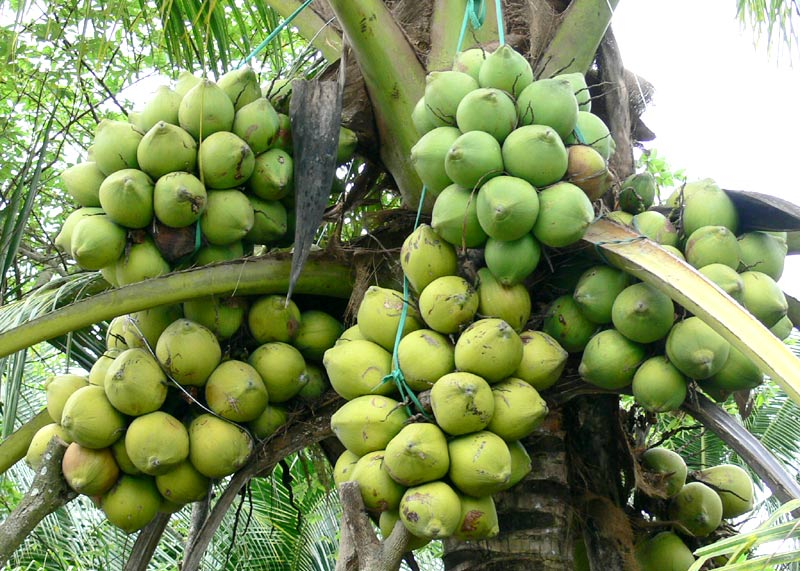 VN to cut coconut export tax to zero