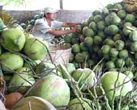 Coconut growers switch crops